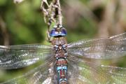 Blue Darner Dragonfly Posters - In Your Eyes Poster by Tracey Levine