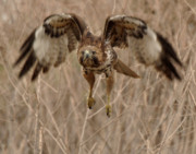 Red Tail Hawk Originals - Inbound Red Tail Hawk by Matt MacMillan