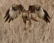 Inbound Red Tail Hawk Print by Matt MacMillan