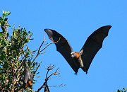 Bat Photos - Incoming - Grey-headed Flying Fox by Bruce J Robinson