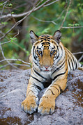 The Tiger Metal Prints - India, Bandhavgarh National Park, Tiger Cub Lying On Rock Metal Print by Theo Allofs