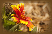 Aster  Framed Prints - Indian Blanket Framed Print by Carolyn Marshall