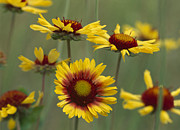 Gaillardia Photos - Indian Blanket Flowers North America by Tim Fitzharris