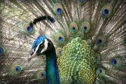 Tropical Birds Posters - Indian Blue Peacock Puohokamoa Poster by Sharon Mau