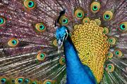 Peafowl Photos - Indian Blue Peacock by Sharon Mau