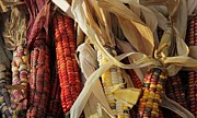 Corns Photos - Indian Corns by Yumi Johnson