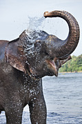Safari Animals Posters - Indian Elephant Having A Splash Poster by Martin Harvey