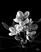 Flower Photos Framed Prints - Indian Hawthorn in Black and White Framed Print by Endre Balogh