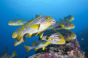 Featured Art - Indian Ocean Oriental Sweetlips School by Reinhard Dirscherl