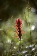 Idaho Wildflower Framed Prints - Indian Paintbrush And Grass Framed Print by Michael S. Quinton