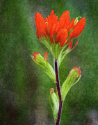 Indian Paintbrush Prints - Indian Paintbrush Print by Dale Kincaid