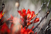 Sandoval Framed Prints - Indian Paintbrush Framed Print by Del Duncan