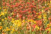 Wild Flowers Of Texas Photos - Indian Paintbrush Wildflowers by Sarah Broadmeadow-Thomas