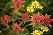 Paint Brush Posters - Indian Paintbrushes with Daisies Poster by Rich Franco