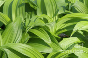 Green Leafs Posters - Indian Poke - Veratrum veride-  Poster by Erin Paul Donovan