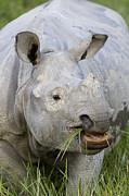Indian Rhinoceros Grazing Kaziranga Print by Suzi Eszterhas