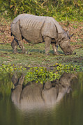 Rhinoceros Framed Prints - Indian Rhinoceros Reflection Framed Print by Theo Allofs
