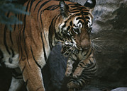 Tigress Posters - Indian Tigress, Sita, Moves Her Cubs Poster by Michael Nichols