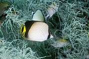 Vagabond Photos - Indian Vagabond Butterflyfish On A Reef by Georgette Douwma