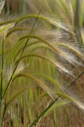 Great Plains Photos - Indiangrass Swaying Softly with the Wind by Christine Till