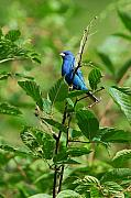 Indigo Framed Prints - Indigo Bunting Framed Print by Alan Lenk
