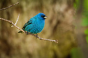 Intense Colors Prints - Indigo Bunting Bird Print by Chad Davis
