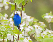 Bird In Tree Posters - Indigo Bunting in Dogwood Poster by Rob Travis