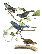 Colorful Bird Posters - Indigo Bunting Poster by John James Audubon
