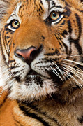 The Tiger Metal Prints - Indochinese Or Corbetts Tiger, Thailand Metal Print by Peter Adams