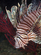 Invasive Species Photo Prints - Indonesian Lionfish On A Wreck Site Print by Karen Doody