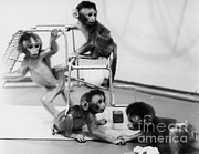 Socialization Prints - Infant Monkeys At Play Print by Science Source