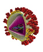 Flu Photos - Influenza Virus Structure, Artwork by Ramon Andrade 3dciencia