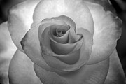 Infrared Originals - Infrared Rose. by Terence Davis