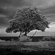 Infrared Framed Prints - Infrared Tree in Front of Skyway Bridge Framed Print by Rolf Bertram