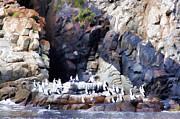 Cormorants Prints - Inhabitants at Cliff-side  Print by Douglas Barnard