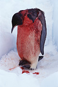 Emperor Penguin Photos - Injured Emperor Penguin by Doug Allan