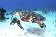 Hawksbill Sea Turtle Posters - Injured Hawksbill Turtle With Damaged Poster by Karen Doody