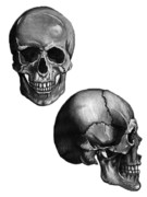 Human Skull Drawings - Innards by Michael Reighn