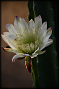 White Cactus Flower Framed Prints - Inner Beauty  Framed Print by Saija  Lehtonen