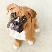 Boxer Puppy Photos - Innocence by Jody Trappe Photography