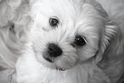 Dog Photos Posters - Innocence Poster by Lisa  DiFruscio