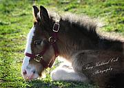 Drum Horse Photos - Innocent New Foal by Terry Kirkland Cook