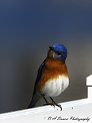 Florida Nature Photography Originals - Inquisitive Bluebird by Barbara Bowen