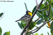 Warbler Originals - Inquisitive Yellow throated warbler by Barbara Bowen