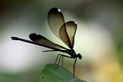 Damsel Fly Photos - Insect Photo - The Hunter - Ebony Jewelwing by Travis Truelove