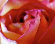 Colorful Roses Photos - Inside Edge by Rona Black