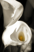 Lillies Digital Art Prints - Inspiration - Calla Lillie Print by MiMi  Photography