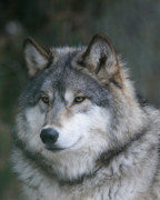 Timber Wolf Photos - Intelligence by Gerry Sibell