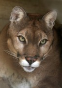 Sabrina L Ryan Metal Prints - Intense Cougar Metal Print by Sabrina L Ryan
