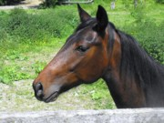 Thoroughbred Gelding Prints - Interested  Gaze Print by Hayley Price